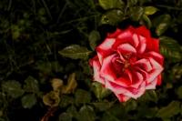 Göçmen Çiçek