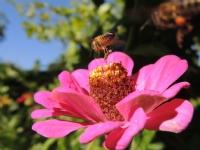 Honey Bee & Flower