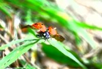 Uğur Böceğii