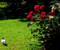 Güller İçinde Gezinti