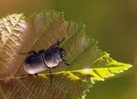 Siyah Böcek