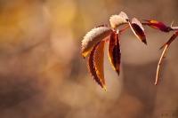 Kuşburnu Dalı