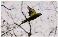 Yeşil Papağan 2