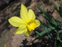 Sordum Sarı Çiçeğe