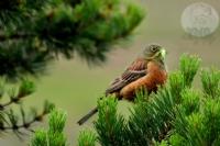 Kızıl Kiraz Kuşu