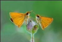 Sarıantenli Zıpzıplar