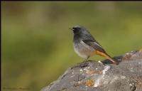 Kara Kızılkuyruk Black Redstart / Phoenicurus Ochr