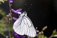 Ak Kelebek