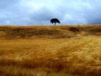 Yalnız Ağaç Ve Ekinler