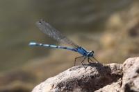 Mavi Yusufçuk