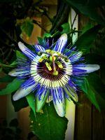 Passiflora (çarkıfelek/tutku Çiçeği)