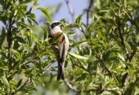 Çulha Kuşu