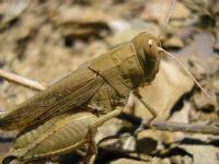Acrididae (tarla Çekirgeleri)