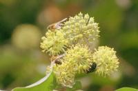 Arıların Yaşam Kavgası