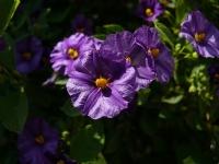 Çılgın Kız Veya Mavi Patates Çalısı Çiçeği