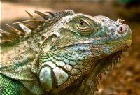 İguana  Darıca Hayvanat Bahçesi