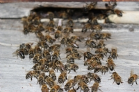 Arı Cümbüşü