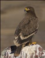 Bozkır Kartalı Steppe Eagle / Aquila Nipalensis