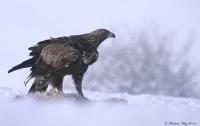 Kaya Kartalı Golden Eagle / Aquila Chrysaetos