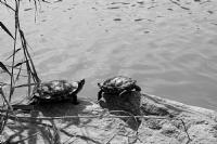 Tatlısu Kaplumbağası_9