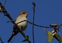 Kızılsırtlı Örümcek Kuşu