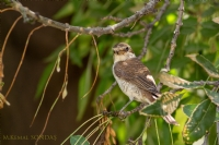 Kızılsırtlıörümcekkuşu