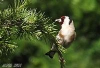 Kızıl Başlı Kuş