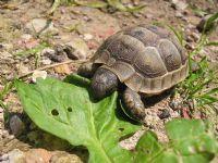 Kaplumbağa (gözlük Camı Kadar)