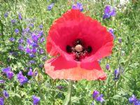 Gelincik Çiçegi