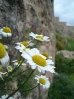 Kalenin Çiçekleri