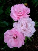 Güllerin İçinden
