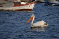 Tepeli Pelikan