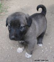 Karabaş Çoban Köpeği 1
