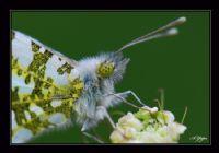 Turuncu Süslü Kelebeği-1