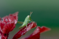 Yeşillim