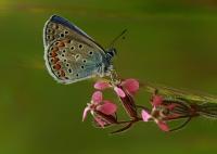 Çokgözlü Mavi (polyommatus İcarus)