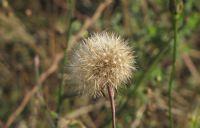 Dandelion(kara Hindiba) Bitkisi