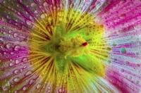 Horozçiçeği.2