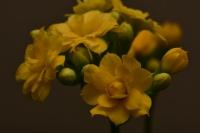 Sarı Kalanchoe Çiçeği