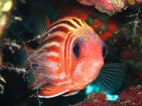Asker Balığı