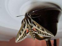 İlk Kelebeğim...Güve Çıtı:(