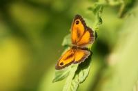 Pyronia Tithonus