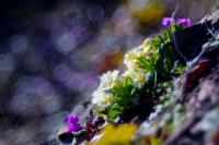 Çuha Çiçekleri