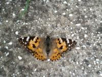Konmuş Kelebek Parçası