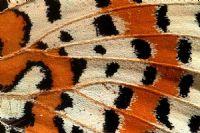 Kelebek Kanadı