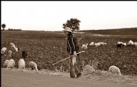 Özbek Çoban Nezir Ve Koyunları