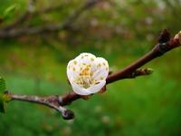 Elma Çiçeği