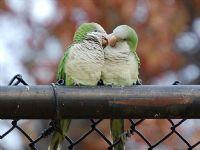 Papagan Diyip Gecme