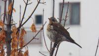 Yeni Misafirler, Göç Başladııı! Kiraz Kuşu