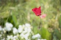 Baharın Yaz'a Sunduğu Bir Hediyedir Kırmızı Gelinc